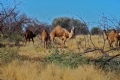 Wild camels at Tjilpa Camp