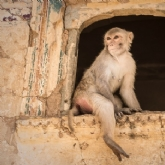 Monkey Temple - Jaipur