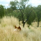 Dog ears in spinifex